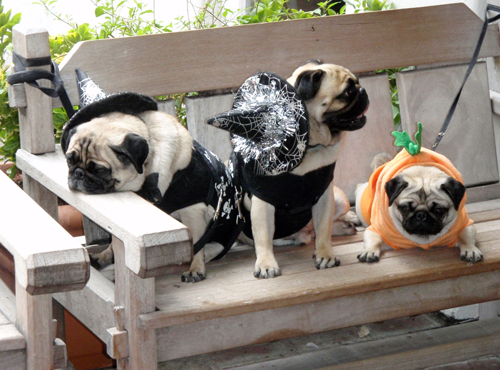 Dogs dressed up for Halloween in Santa Barbara