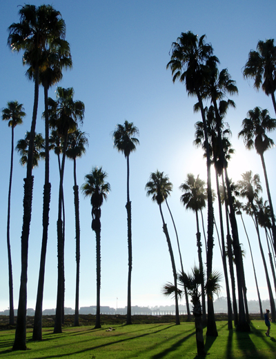 Palm trees at Cabrillo Boulevard in Santa Barbara